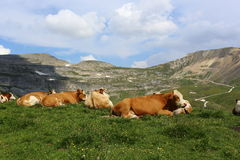 Cows in an Alpine meadow . Royalty Free Stock Photo