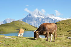 Cows in Alpine meadow Royalty Free Stock Photography