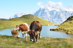 Cows in Alpine meadow Stock Photography