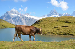 Cows in an Alpine meadow Stock Images