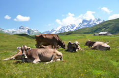 Cows in an Alpine meadow Stock Photography