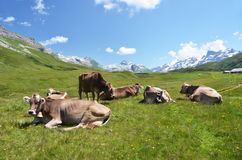 Cows in an Alpine meadow Royalty Free Stock Image