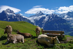 Cows in an Alpine meadow with mountains in snow in background. J Royalty Free Stock Images