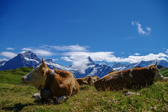 Cows in an Alpine meadow with mountains in snow in background. J Royalty Free Stock Image