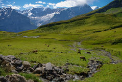 Cows in an Alpine meadow with mountains in snow in background. J Stock Image