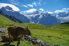 Cows in an Alpine meadow with mountains in snow in background. J Stock Photo