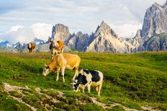Cows on the Alpine meadow at sanlit. Cows on the Alpine meadow. in sunlit, Dolomites, Italy stock photo