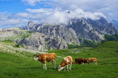 Cows on the Alpine meadow at sanlit Stock Images
