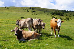 Cows in an Alpine. Meadow Styria region, Austria stock photo