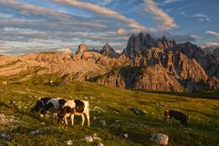 Cows on the Alpine meadow at sunset. Cows on the Alpine meadow. in sunset light, Dolomites, Italy stock photography