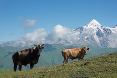 Cows on alpine meadow Stock Images