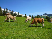 Cows in alpine meadows Royalty Free Stock Photos