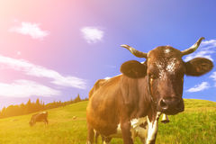 Cows on alpine meadows Royalty Free Stock Photography