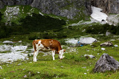 Cows on Alpine Pasture. Milk Cows in the Austrian Alps on the Mountain Pasture Stock Photo