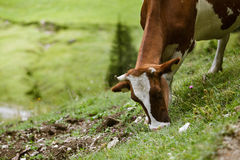 Cows on Alpine Pasture. Milk Cows in the Austrian Alps on the Mountain Pasture Stock Images