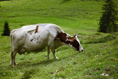 Cows on Alpine Pasture. Milk Cows in the Austrian Alps on the Mountain Pasture Royalty Free Stock Photos
