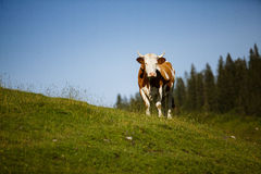 Cows on Alpine Pasture. Milk Cows in the Austrian Alps on the Mountain Pasture Stock Photos