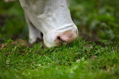 Cows on Alpine Pasture. Milk Cows in the Austrian Alps on the Mountain Pasture Stock Image