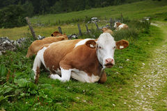 Cows on Alpine Pasture. Milk Cows in the Austrian Alps on the Mountain Pasture Royalty Free Stock Image