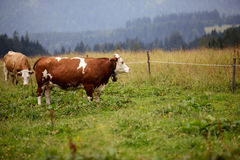 Cows on Alpine Pasture. Milk Cows in the Austrian Alps on the Mountain Pasture Royalty Free Stock Photo