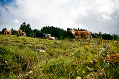 Cows On An Alpine Pasture Royalty Free Stock Images