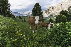 A cows on an alpine pasture. Dolomites. Italy. Royalty Free Stock Images