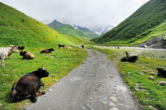 Cows on alpine pasture. Lots of cows resting on alpine pasture besides a mountain dirt road Stock Image