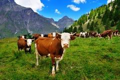 Cows on alpine pasture in Valle dAosta Stock Photo