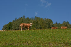 Cows in the Alps. Cows grazing in an alpine meadow Royalty Free Stock Photos