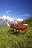 Cows in Alps Royalty Free Stock Photos