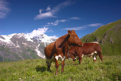 Cows in Alps. Cows in Austrian Alps meadow Royalty Free Stock Images