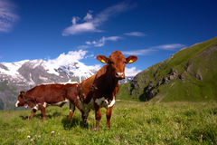 Cows in Alps. Cows in Austrian Alps meadow Royalty Free Stock Image