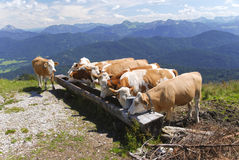 Cows at the alps Stock Photos