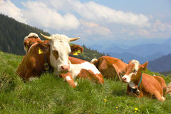 Cows in the Alps Stock Photo