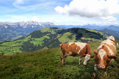 Cows in Alps, Austria Stock Images