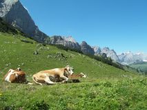 Cows in the Alps Bavaria. Some cows enjoying the landscape of the bavarian Alps Stock Photos