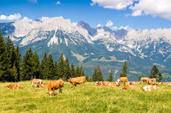 Cows in Alps. Brown cows in Austrian Alps on high mountain pasture stock images
