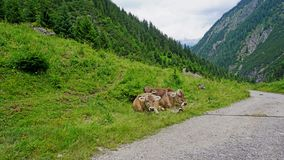 Cows in the Alps. Cows doze at a hiking trail in the Lechtaler Alps in Tyrol, Austria stock images