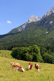 Cows in the Alps Royalty Free Stock Image