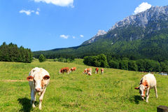 Cows in the Alps Stock Photography