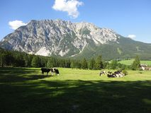 Cows in the Alps Royalty Free Stock Photo