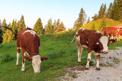 Cows in the alps at morning Royalty Free Stock Photo