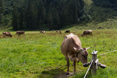 Cows in the alps Royalty Free Stock Images