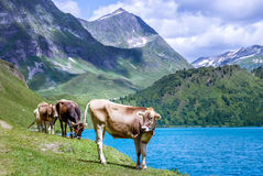 Cows in the Alps Stock Image