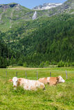 Cows in the Alps. Two Cows posing in the green alps in from of a mountain with a waterfall and some snow on the mountain Stock Photos