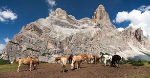 Cows And Horses Under Monte Pelmo In Italian Dolomities Royalty Free Stock Photography