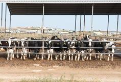 Cows animal farm Stock Image