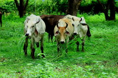 Cows are animals Royalty Free Stock Images
