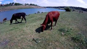 Cows in the apiary. Cows in an apiary, grazing in the field stock video