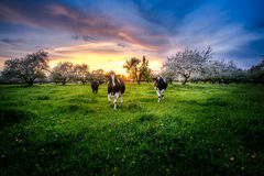 Cows and apple trees Royalty Free Stock Photos